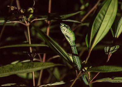 Pit Viper, Danum Valley Conservation Area, Borneo