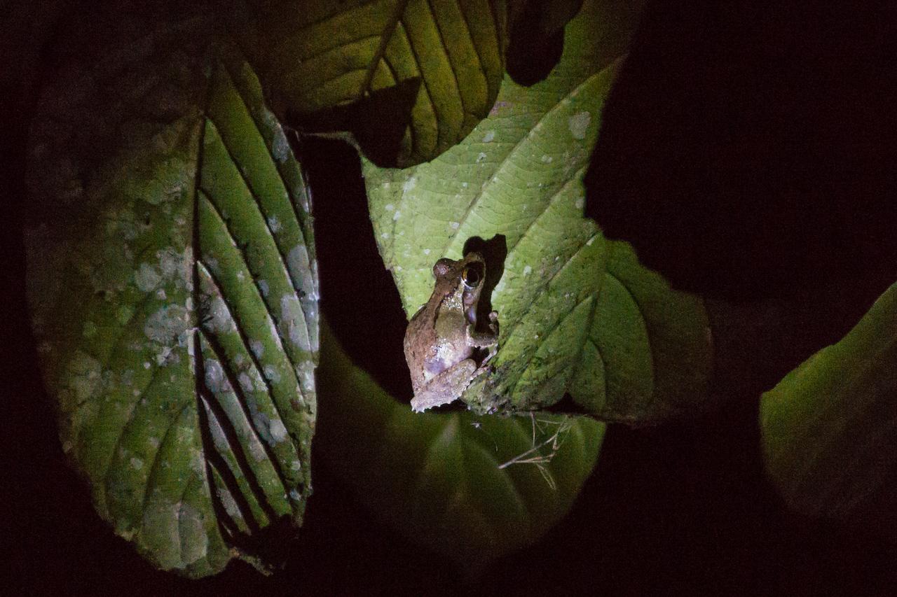 Frog, Danum Valley Conservation Area, Borneo