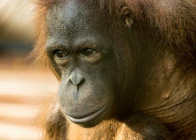 Orangutan, Sepilok Nature Reserve, Borneo