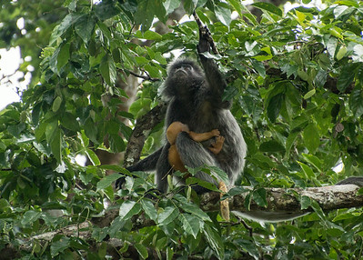 Silver Leaf Monkey, Bako National Park, Borneo