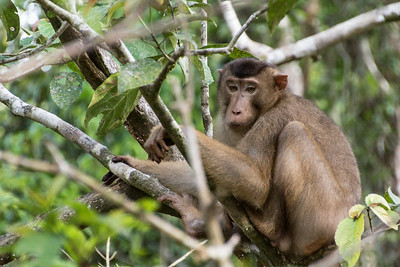 Pig-tailed Macaque, Kinabatangan Wildlife Sanctuary, Borneo