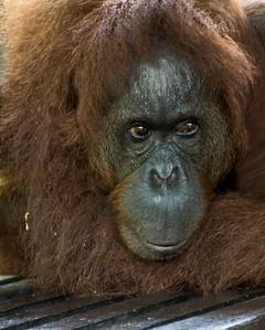 Orangutan, Semenggoh Wildlife Centre, Borneo