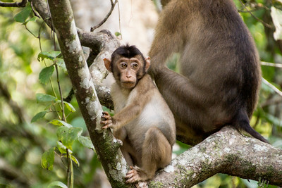 Pig-tailed Macaque, Kinabatagan Wildlife Sanctuary, Borneo