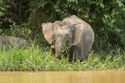 Borneo (Pygmy) Elephant, Kinabatangan River, Borneo