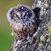 Eastern Screech-Owl (Otus asio)