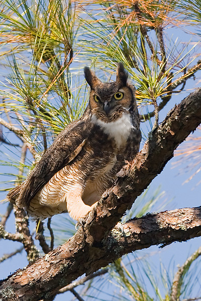 Great Horned Owl (Bubo virginianus) This image was taken on Dutton Island, Atlantic Beach, Florida.