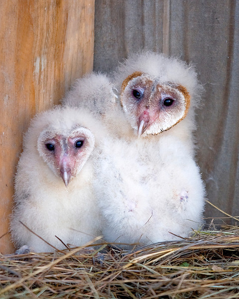 Barn Owl chicks.. There are actually three here..