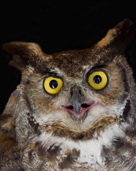 Great Horned Owl... Rescued bird in captivity.
