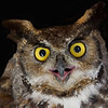 Great Horned Owl... Rescued bird in captivity.