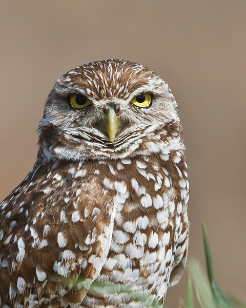 Burrowing Owl..