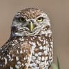 Burrowing Owl..