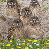 Burrowing Owl Family Portrait ..