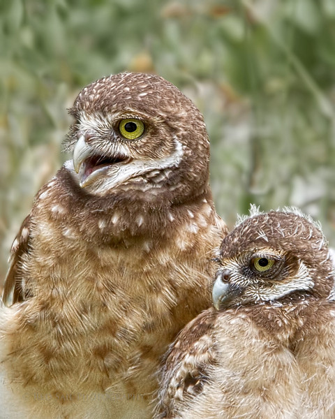 Burrowing Owl Mom with Young Son.