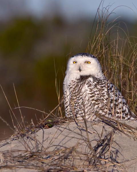 Snowy Owl. Little Talbot Island, Jacksonville, Florida.
