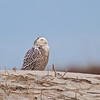 Sleepy... Snowy Owl on the beach in Jacksonville, Florida.