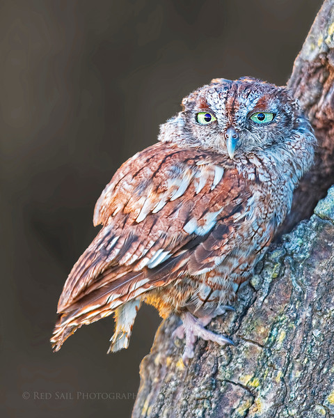 """Eastern Screech-Owl (Otus asio) This small owl is only 8"""" long with a 20"""" wingspread. Uncommon but widespread across the eastern US. Image taken in Florida.."""