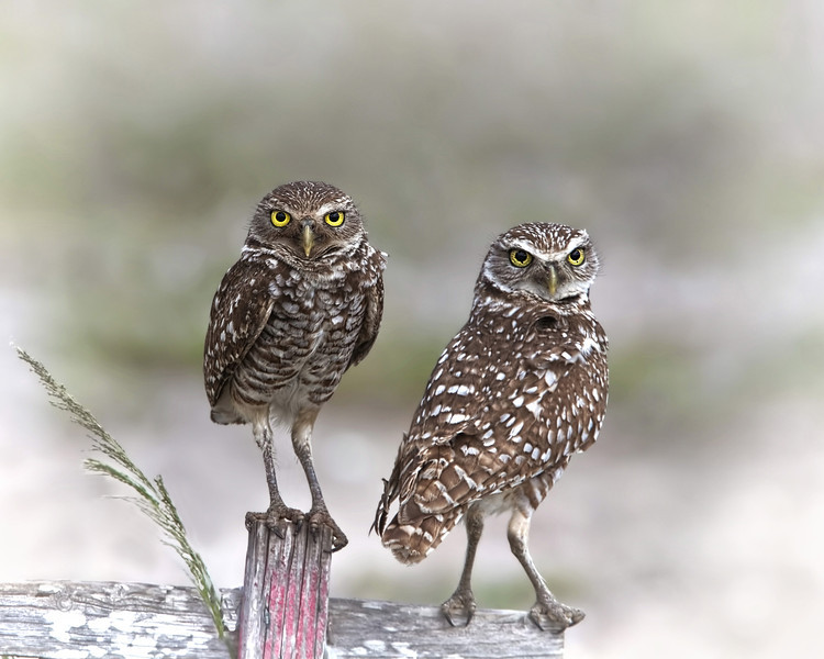 Burrowing Owls, Mom and Dad.