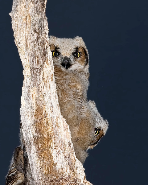 Great Horned Owlets play Peek-A-Boo.