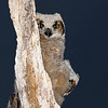 Great Horned Owlets play Peek-A-Boo.