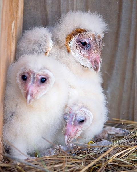 Barn Owl chicks.