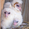 Barn Owl chicks.