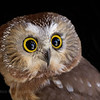 Northern Saw-whet Owl. Rescued bird in captivity.