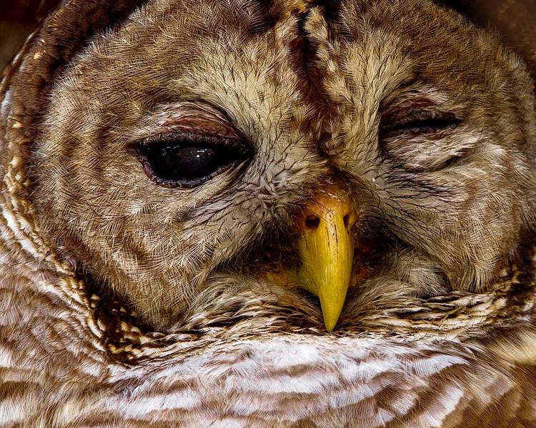 Barred Owl close-up.
