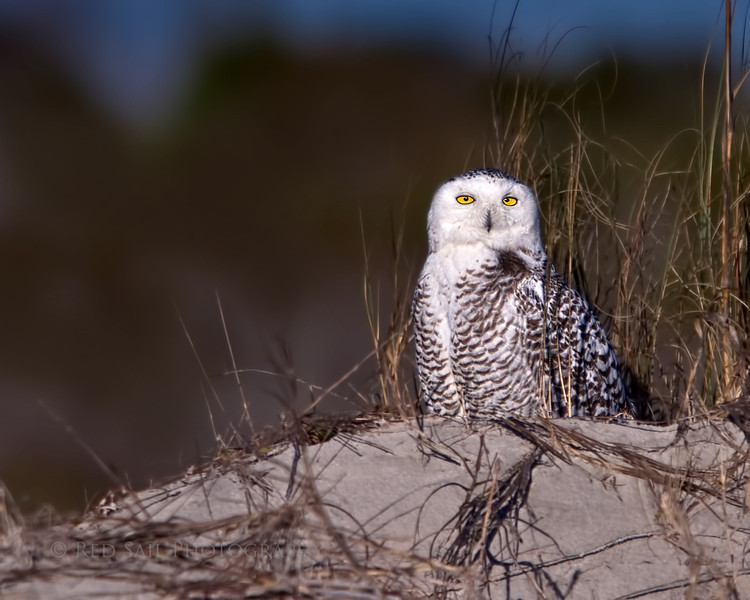 Snowy Owl on the Little Talbot Island Beach.. Jacksonville, Florida.