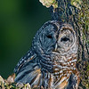 Barred Owl (Strix varia) Image taken in Florida..