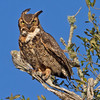 Great Horned Owl. Cradle Creek Preserve, Jacksonville Beach, Florida.