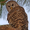 Barred Owl..
