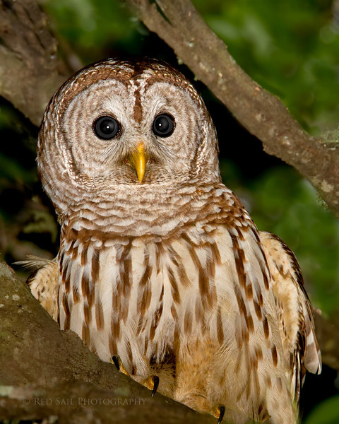 Barred Owl.. Image taken in Atlantic Beach, Fl.