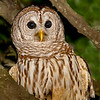 Barred Owl.. Image taken in Atlantic Beach, Fl.