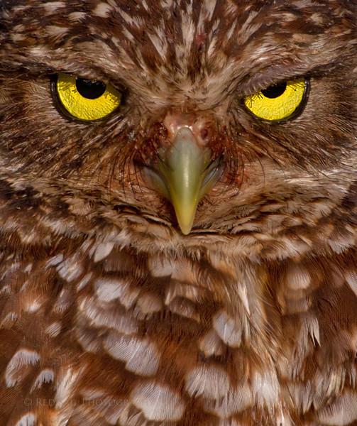 Burrowing Owl Face Shot..