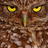 Burrowing Owl Face Shot..