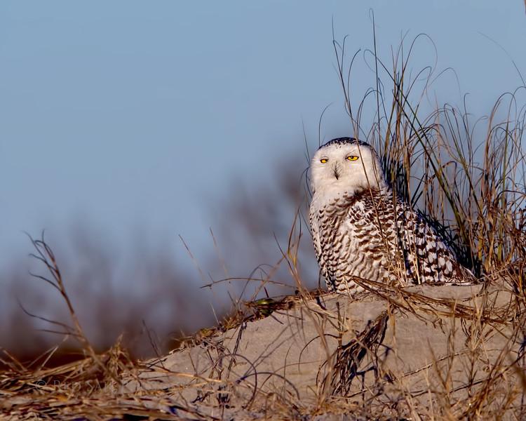 Snowy Owl on Little Talbot Island. Jacksonville, Florida.