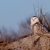 Snowy Owl on Little Talbot Island. Jacksonville, Florida.