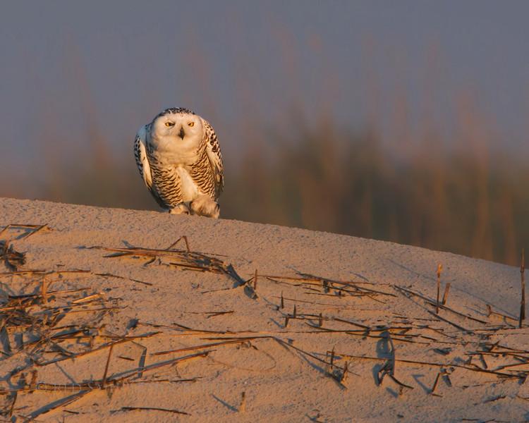 Snowy Owl enjoying the setting sun on the beach in Florida.