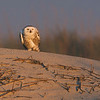 Snowy Owl enjoying the setting sun on the beach in Florida.