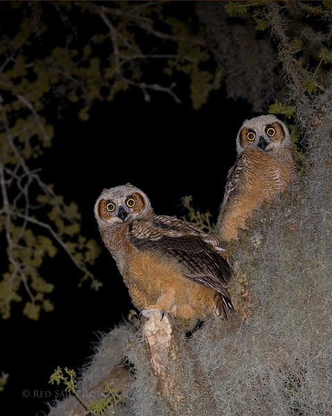 Great Horned Owlets playing in the spanish moss.