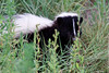 A striped skunk who walked almost up to the observation deck I was standing on.  He didn't seem bothered by people, thank goodness.