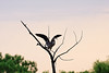 A Great Blue Heron landing in a tree.