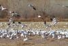Snow Geese landing.