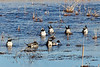 Northern Pintail Ducks feeding.  Or perhaps practicing synchronized swimming.