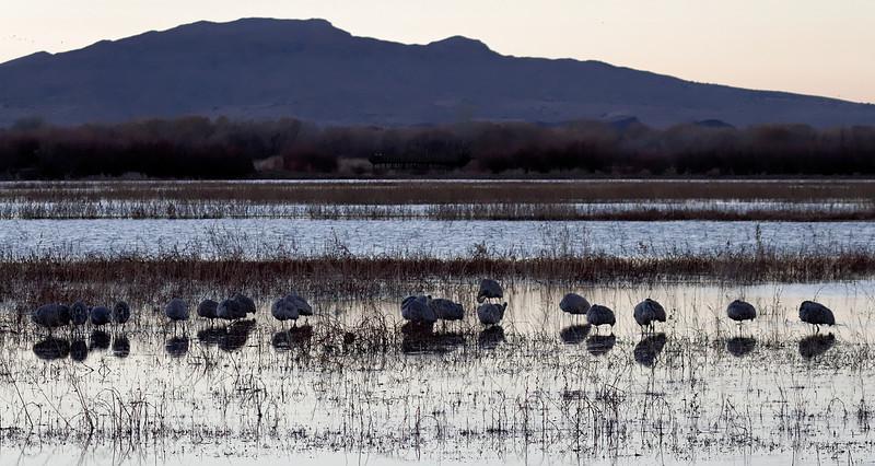 Sandhill Cranes before sunrise.