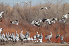 Sandhill Cranes and snow geese landing.