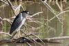 100% Crop of Black Crowned Night Heron