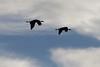 Sandhill Cranes in silhouette