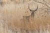Male Mule Deer.