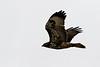 Juvenile Swainson's Hawk.